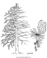 Malvorlage Nadelbaum   Coloring and Malvorlagan