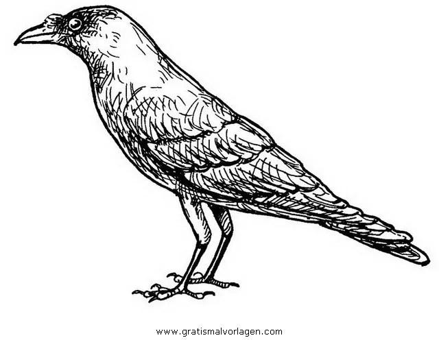 Krahe 7 gratis Malvorlage in Tiere Vögel - ausmalen