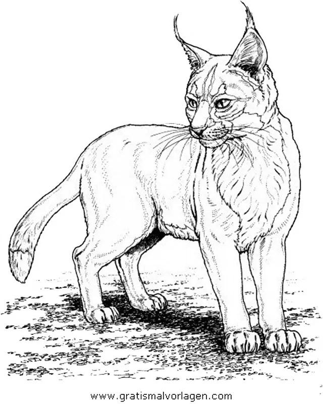Luchs 11 gratis Malvorlage in Tiere Tiger - ausmalen