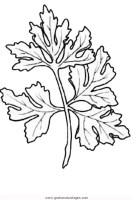 Petersilie gratis Malvorlage in Kräuter, Natur   ausmalen
