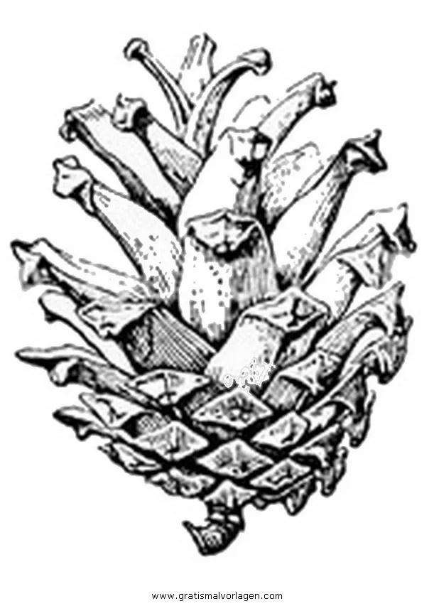 Tannenzapfen Zapfen 1 Gratis Malvorlage In Natur Winter