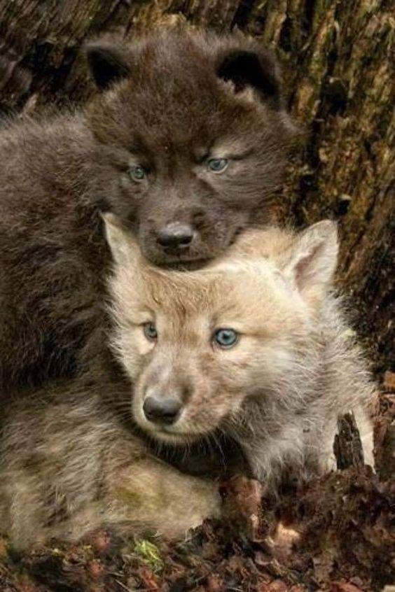 Cute Puppies Images Wallpapers Fotos Preciosas De Lobos Salvajes