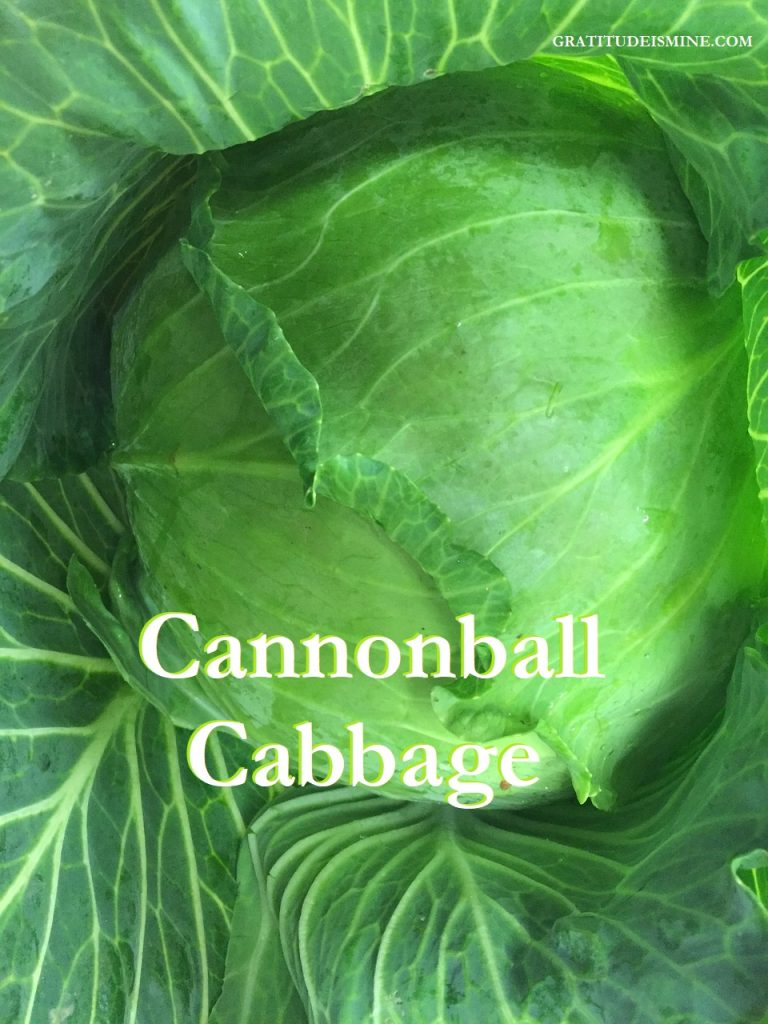 A HEAD ABOVE THE REST CABBAGE
