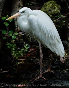 White Great Blue Heron