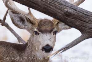Mule Deer Buck playing peek-a-bood