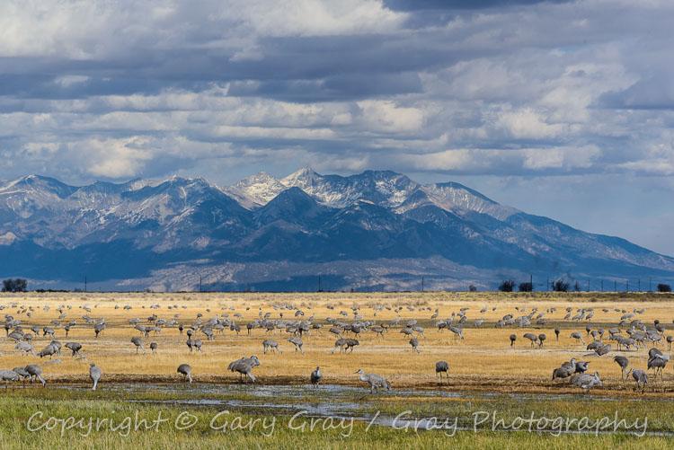 Sandhill Cranes near Monte Vista, Colorado