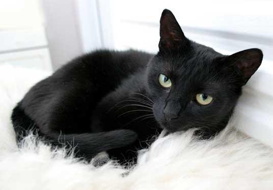 A Black Kitty Cat