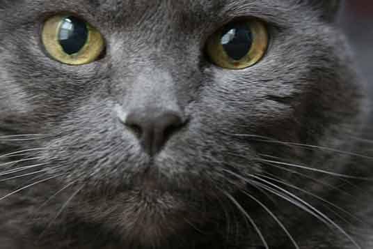 Cute Siamese Kittens Wallpaper The Russian Blue Cat Best Photos