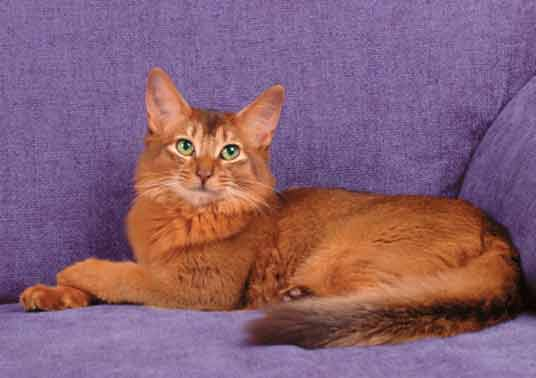 The Somali Cat Your Best Photo Site