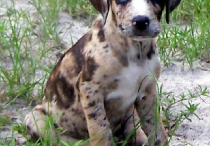 Blue Heelers For Sale In Texas