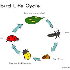 Bird Life Cycle Diagram Discovery 2 Bcu Wiring Ladybird Or Click Here For