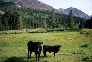 00000-02340 Cows at Leavitt Creek trample meadow, Sierra Nevada Tioyabe NF California George Wuerthner-2679.tif