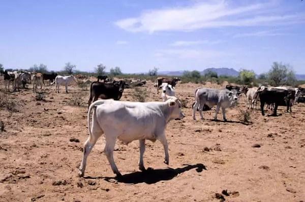 A herd of cattle in an overgrazed desert
