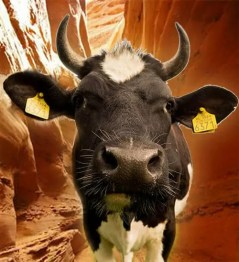 Cows-slot