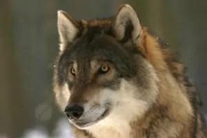 wolf-725380_1280-e1610039506729