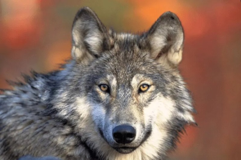 Oct. 15 | 5PM – CO Wolf Reintroduction Lecture