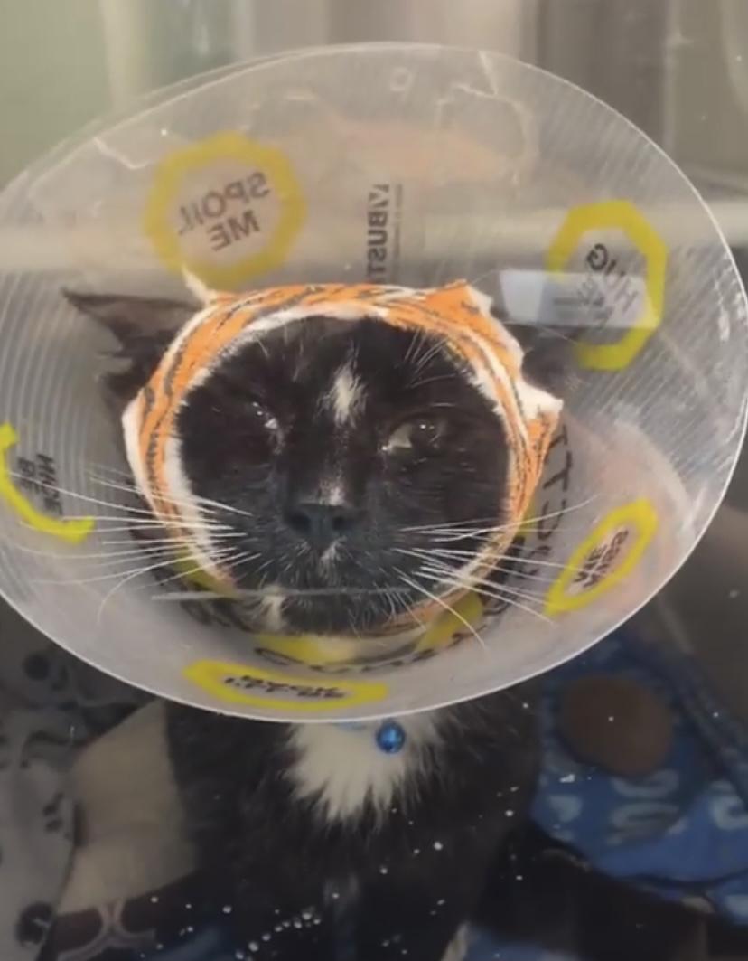 Injured cat, Blake rushed to Great Plains SPCA