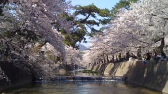 The blossoms of cherry trees at Shukugawa, Nishinomiya in Japan