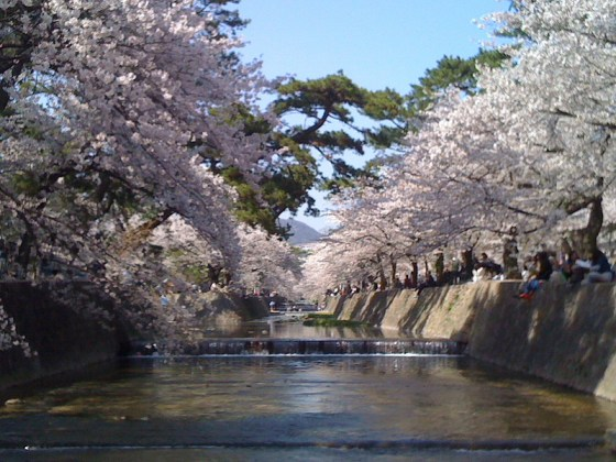 The blossoms of cherry trees at Shukugawa, Nishinomiya in Japan