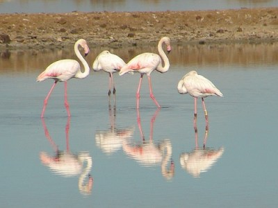 Flamingos in the Ria Formosa National Park