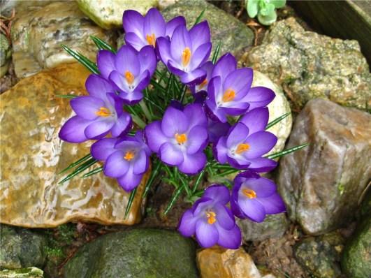 Spring flowers - crocus