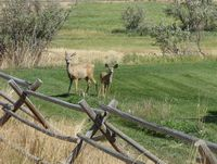more Wyoming deer