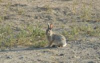 Wyoming cottontail rabbit