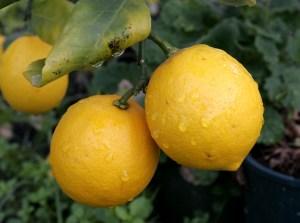 Pair_of_lemons-cropped