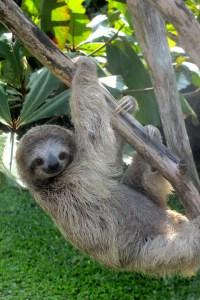 sloth, tortuguero, Reasons to study abroad in costa rica