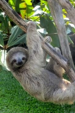sloth, tortuguero, costa rica