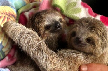 baby sloths, toucan rescue ranch, costa rica, heredia