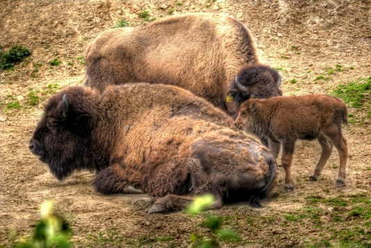 Bison, Big Bone Lick State Park, Kentucky