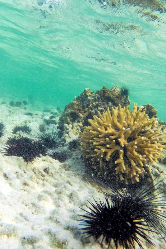 sea urchin, matemwe, zanzibar
