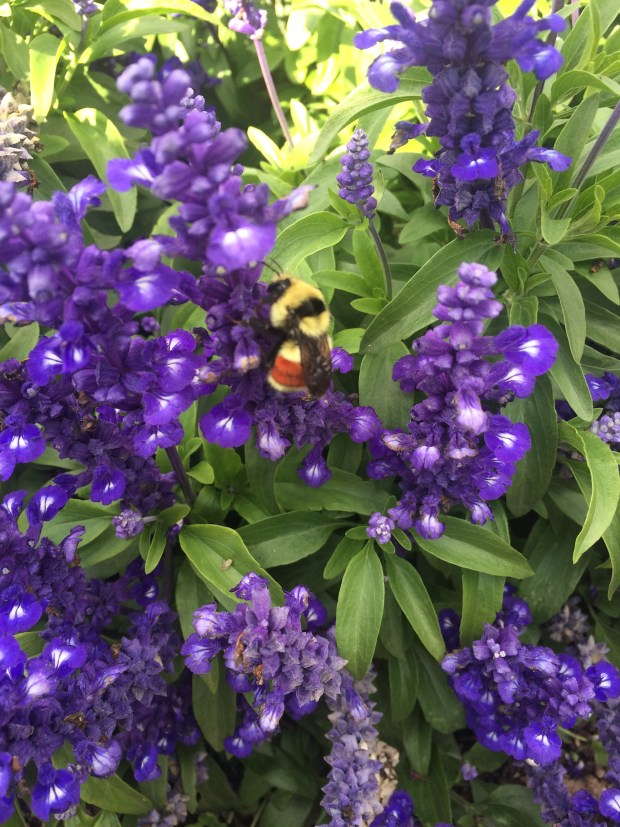 Pollinators love the CSU Annual Flower Trial Garden.