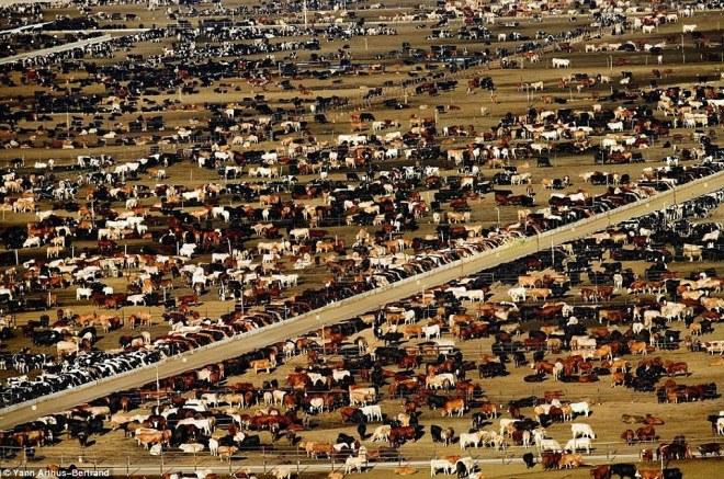 cow-farm