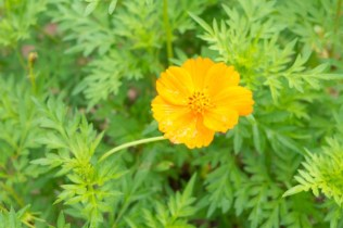 Yellow Cosmos
