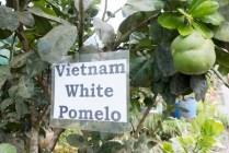 Vietnam White Pomelo