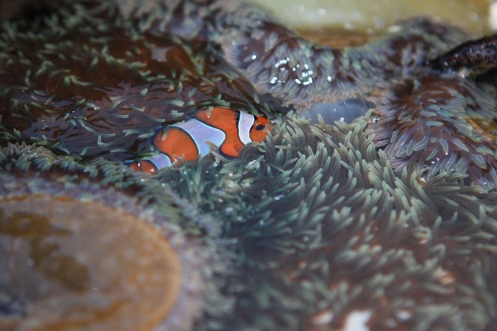 Clown fish at the Similans
