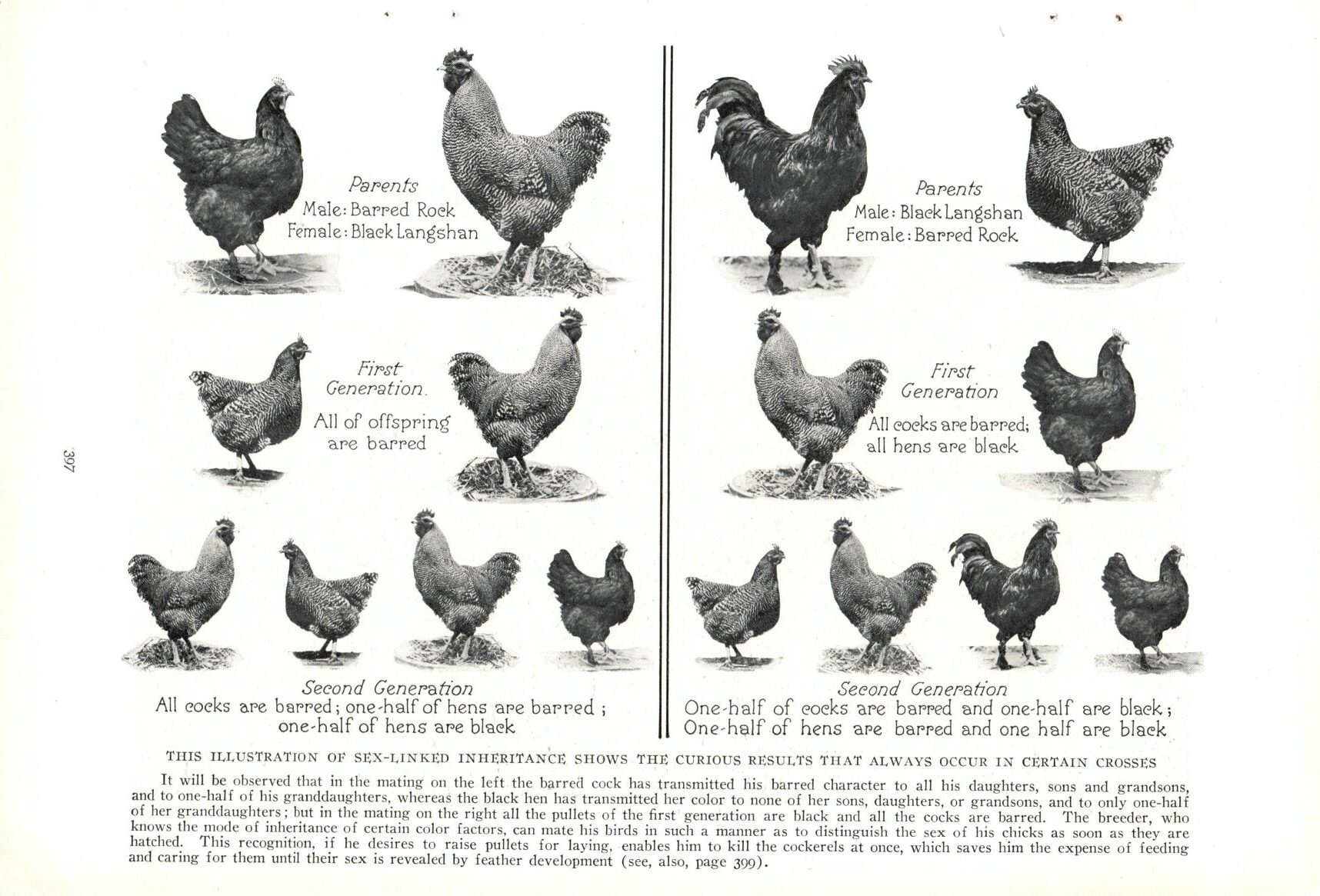 1927 National Geographic Vintage Pages – Poultry