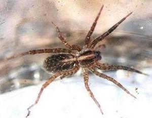 134-family-lycosidae