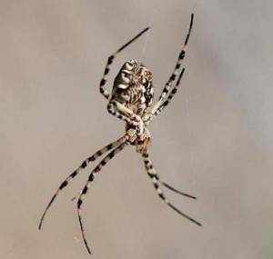 158-family-araneidae-argiope-lobata