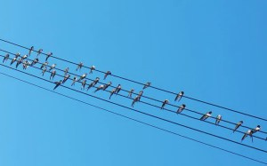 swallows-on-wires