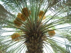 date_palm_with_fruits