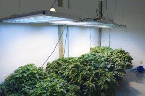cannabis growing