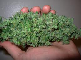 cannabis harvesting