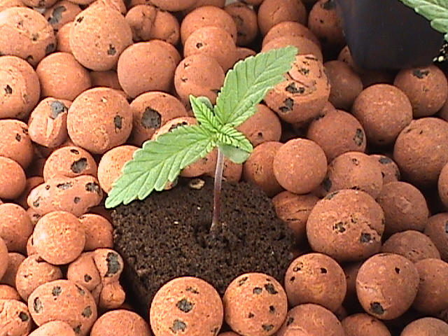 cannabis growing medium