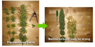 Cannabis Manicuring