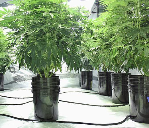 Grow Amazing Cannabis with Hydroponics