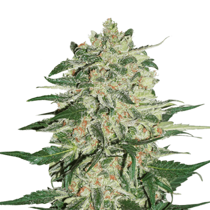 Flowering-Marijuana-Plants Cannabis Genetics