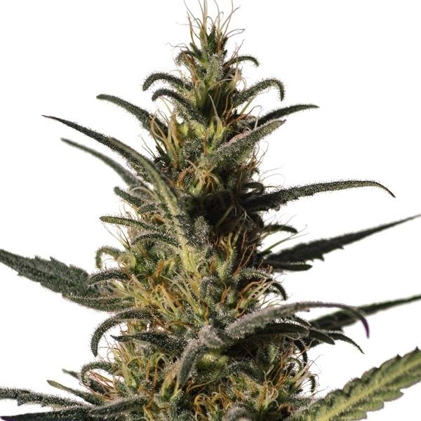 Cannabis Breeding & Cannabis Genetics